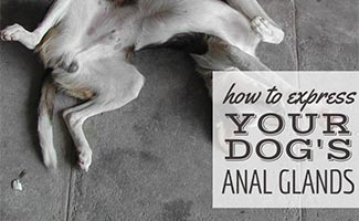 Dog laying on back with anal glands full (caption: How To Express Your Dog's Anal Glands)