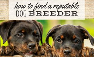 Puppies peeking through fence(caption: How To Find A Reputable Breeder)