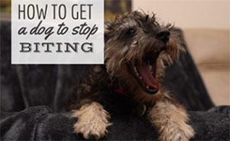 Dog barking in person's lap (caption: How to get a dog to stop biting)