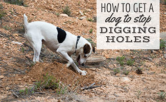 Dog digging hole (caption: How To Get A Dog To Stop Digging Holes)