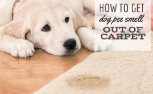 How to Get Dog Pee Smell Out of Carpet