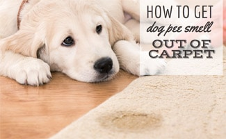 Dog laying next to soiled rug (caption: How to Get Dog Pee Smell Out of Carpet)