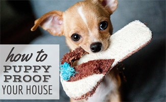 Puppy chewing on toy: How To Puppy Proof Your House