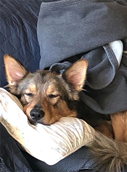 Huckleberry the dog cuddled on sofa and pillow