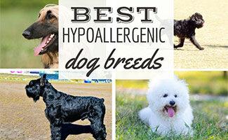 4 Hypoallergenic Dog Breeds (Caption: Best Hypoallergenic Dog Breeds)