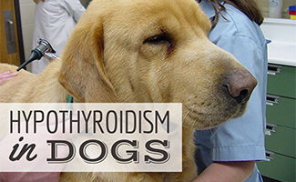 Lab at vet (caption: Hypothyroidism In Dogs)