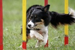 Border collie running through agility course