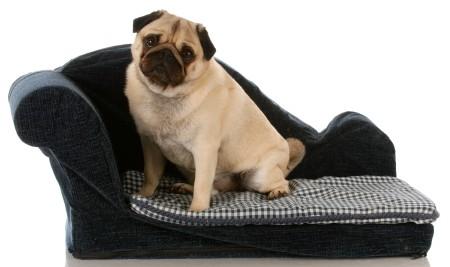 Pug sitting on sofa