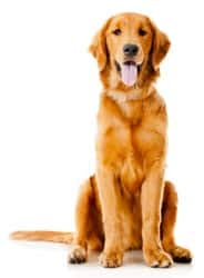 Golden Retriever sitting with tongue out