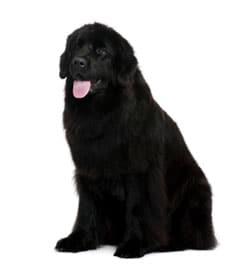 Large Black Newfoundland Dog