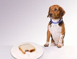 Dog eating sandwich at table
