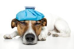 Sick dog with ice bag on head