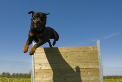Rottweiler jumping over wall