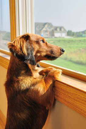 Dachshund looking out window