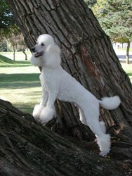 Poodle standing on the base of a tree
