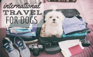 Dog in suitcase packing: International Travel with Dogs