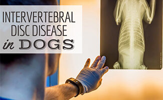 Vet looking at an xray of dog (Caption: Intervertebral Disc Disease In Dogs)
