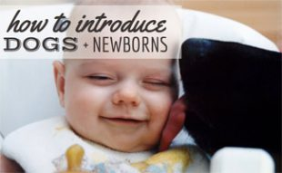 Dog licking baby's face: How to Introduce Dogs and Newborns