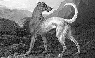 Historical black and white photo of Irish Wolfhound