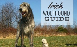Irish Wolfhound with small dog (Caption: Irish Wolfhound Guide)