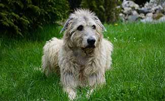 Irish Wolfhound sitting in grass