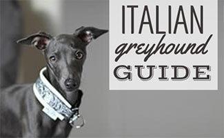 Italian Greyhound (caption: Italian Greyhound guide)