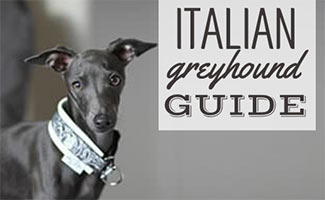 Italian Greyhound (caption: Italian Greyhound guide)
