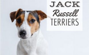 Jack Russell Terrier (caption: Jack Russell Terrier)