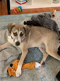 Joey the dog on blankets with stuffed fox toy