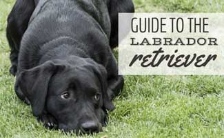 Labrador Retriever laying in grass (Caption: Guide to the Labrador Retriever)