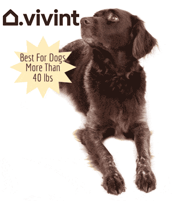 Black lab laying down, callout: Best For Dogs More Than 40 Pounds with Vivint Logo