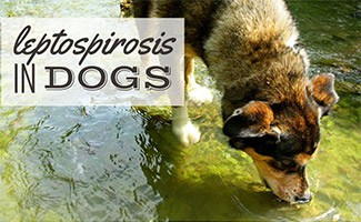 Dog drinking creek water (caption: Leptospirosis In Dogs)