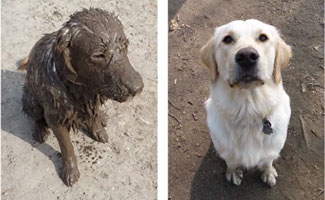Lilly before and after in mud