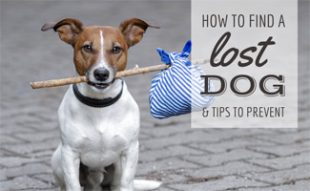 Dog hitchhiking (caption: How To Find A Lost Dog & Tips to Prevent)