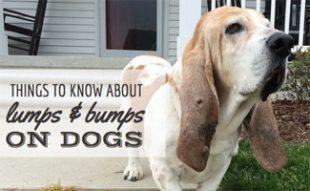 Dog with lump on ear