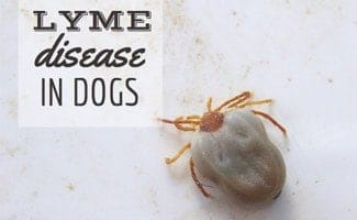 Tick (caption: Lyme disease in dogs)