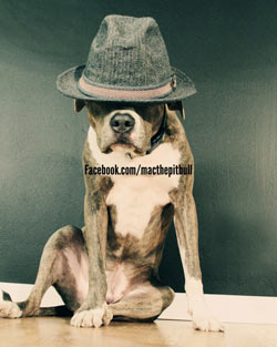 Mac the pitbull with hat