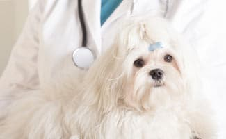 Maltese Dog With Vet