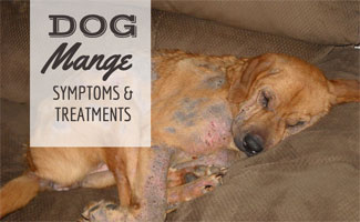 Dog with mange sleeping on sofa (caption: dog mange symptoms & treatments)