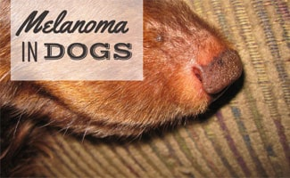 Dog snout with melanoma (caption: Melanoma In Dogs)