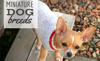 Guide to Miniature Dog Breeds
