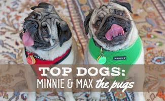 Minnie and Max the Pugs