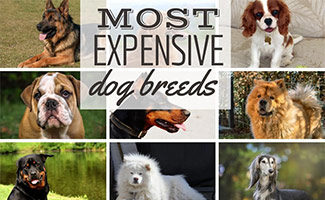 Most Expensive Dog Breeds (caption: Most Expensive Dog Breed)