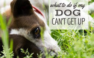 Dog Allergy Symptoms: Watch For Scratching | CanineJournal com
