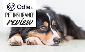Bernese Mountain Dog laying down (caption: Odie Pet Insurance Review)