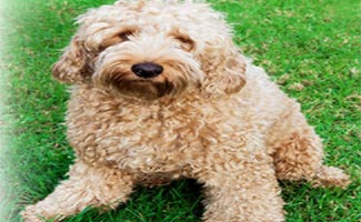 Oodles the Doodle in the grass