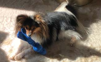 Papillion laying on ground with toy