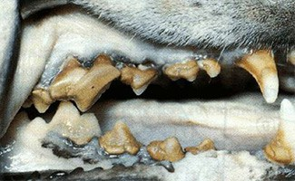 Periodontitis in dog