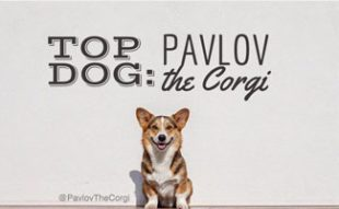 Pavlov the Corgi
