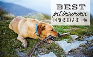 Golden chewing stick outdoors in North Carolina mountains (caption: Best Pet Insurance In North Carolina)